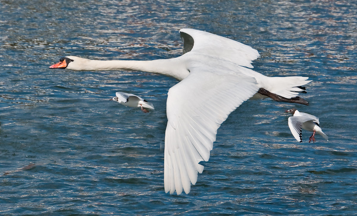 """Swans away"""