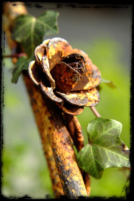 Mar. 11 - rusted rose