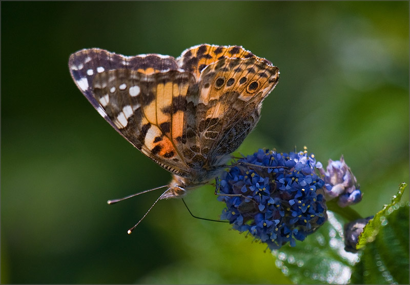Painted Lady Migration, 2009