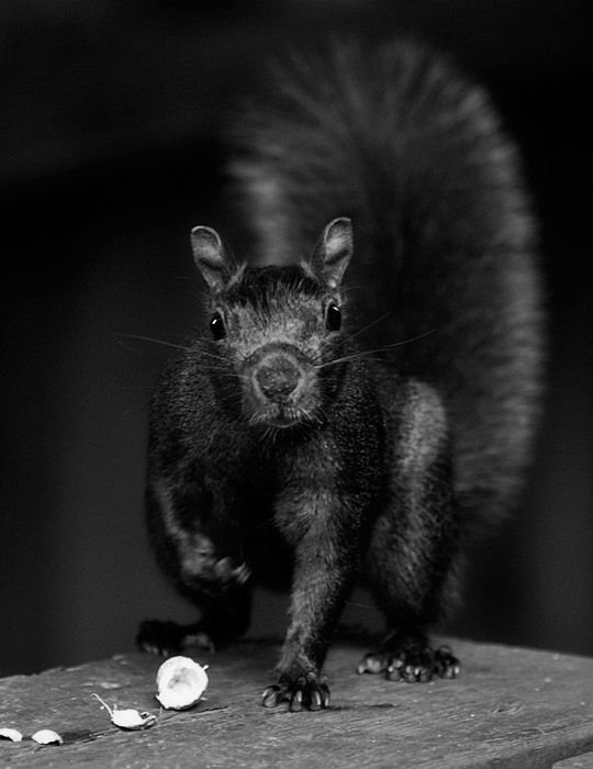 Black Squirrel in BW