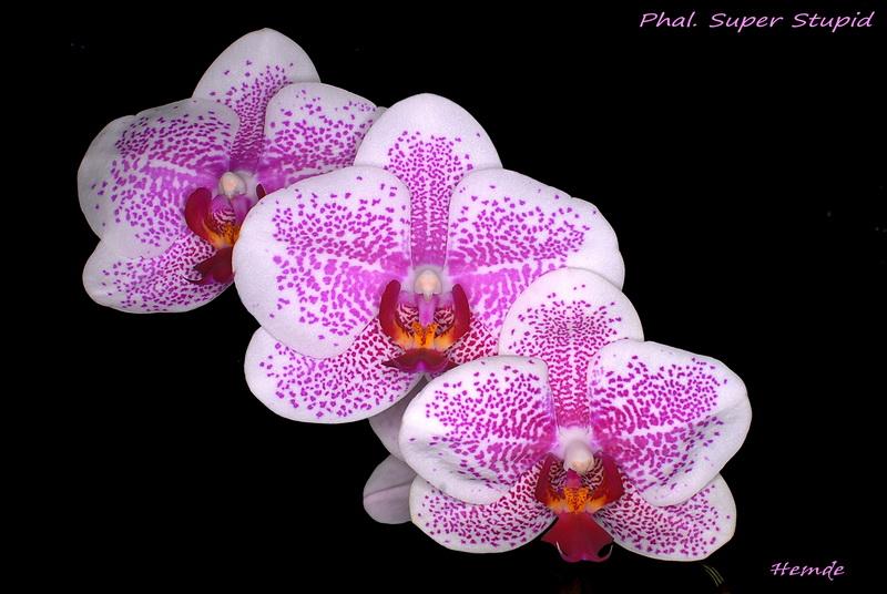 Phalaenopsis Super Stupid
