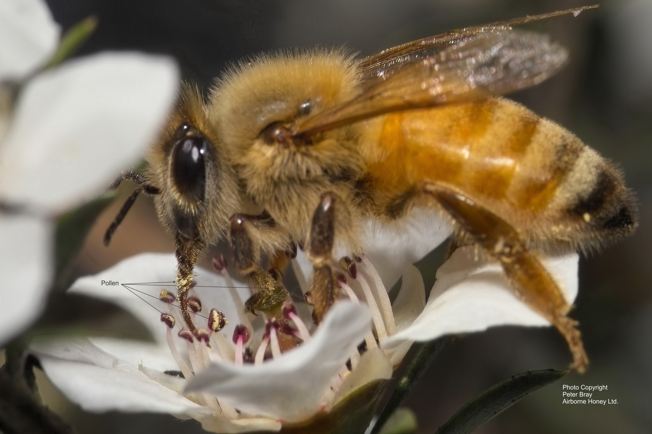 Bee Collecting Nectar From L. scoparium (manuka) Flower Showing Pollen.