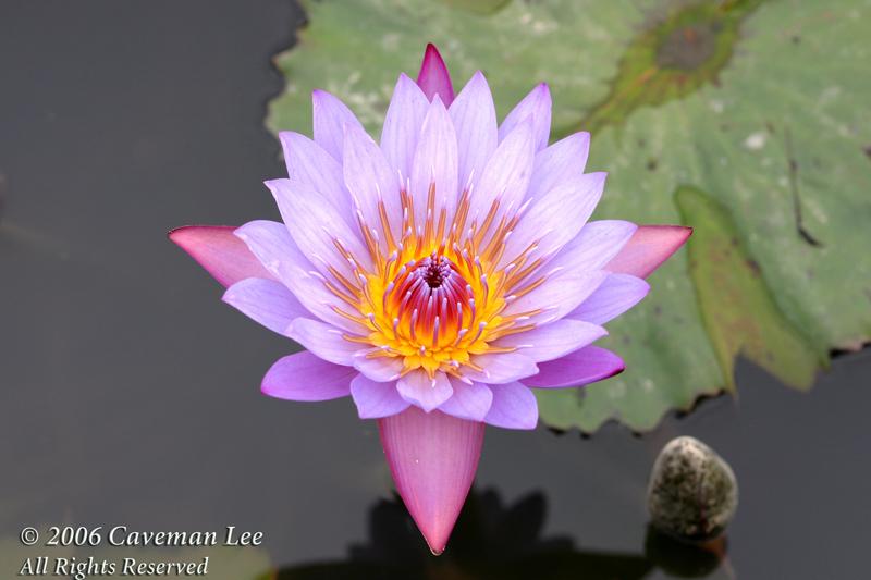 Lotus in Wetland Park