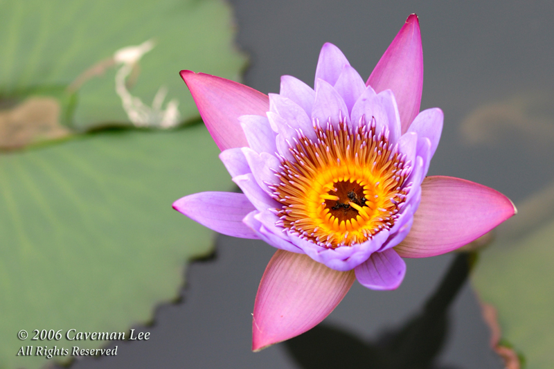 Water Lily in Wetland Park