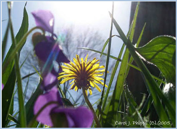 Dandelion Reaching for the Skies.JPG