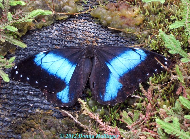 Blue Morpho at Mariposa