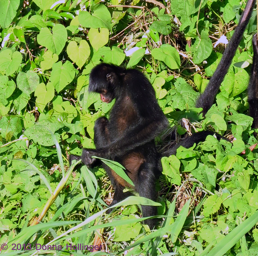 Spider Monkey Picking A Tender Leaf to Eat