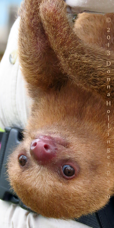Two Month Old Sloth