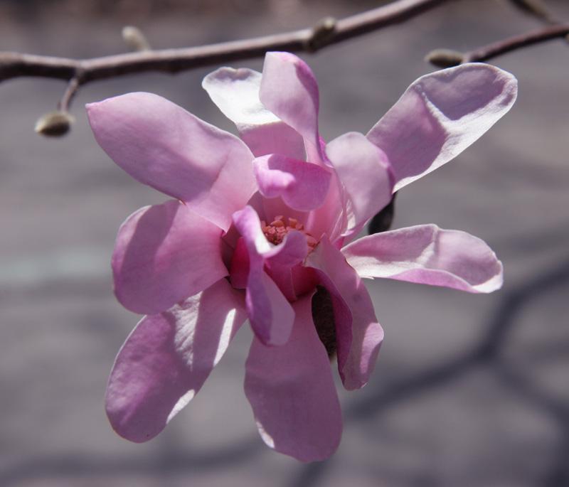 Stellate Magnolia