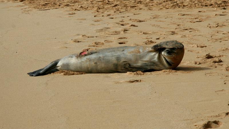 Hawaiian Monk Seal:  A cookie cutter shark got me!