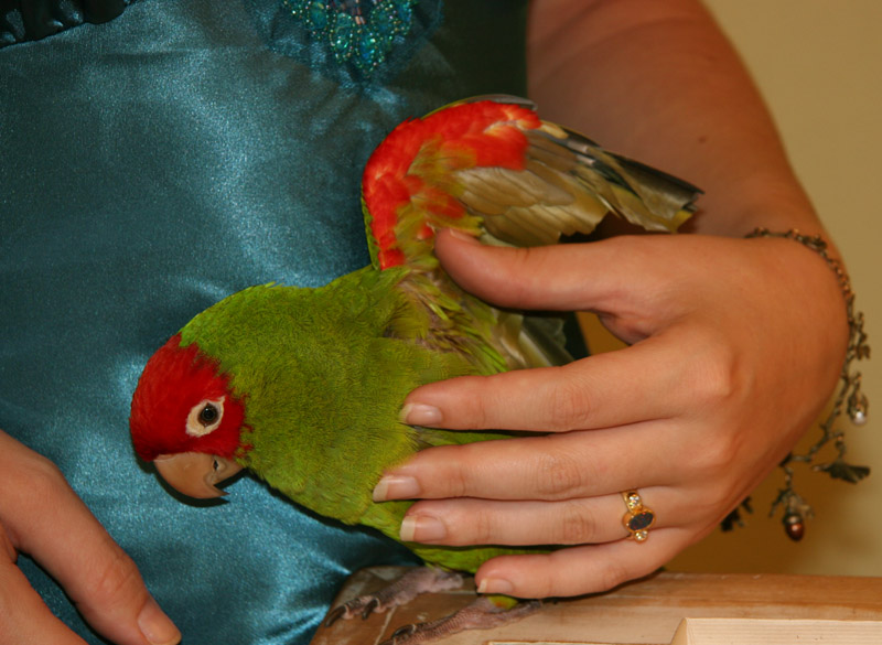 Tabasco (the Parrot) shows his red