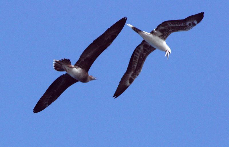 Shearwater and Albatross