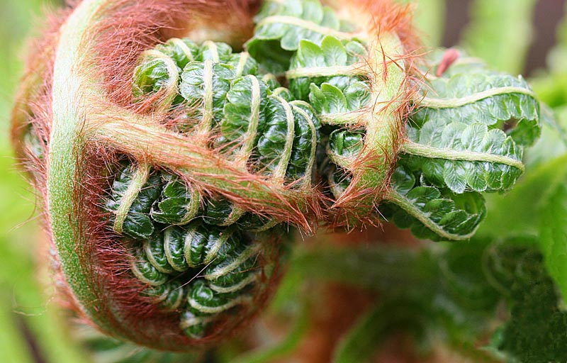 Fiddlehead.hairs
