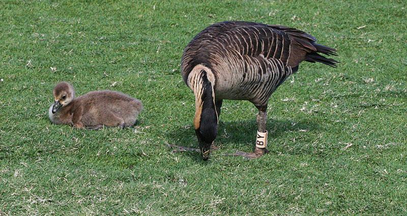 Nene with gosling