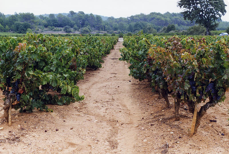 Vineyards Near Mount St. Victoire