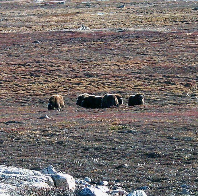 Musk Ox realignment