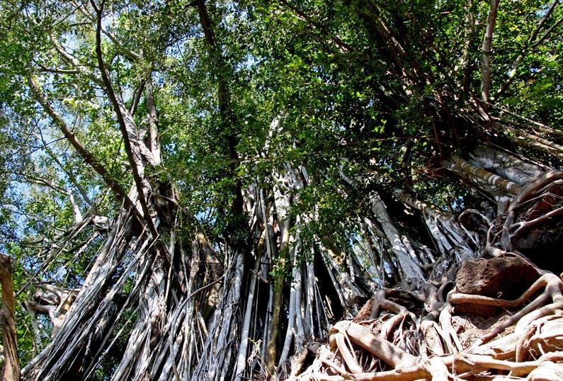 Curtain of banyan roots
