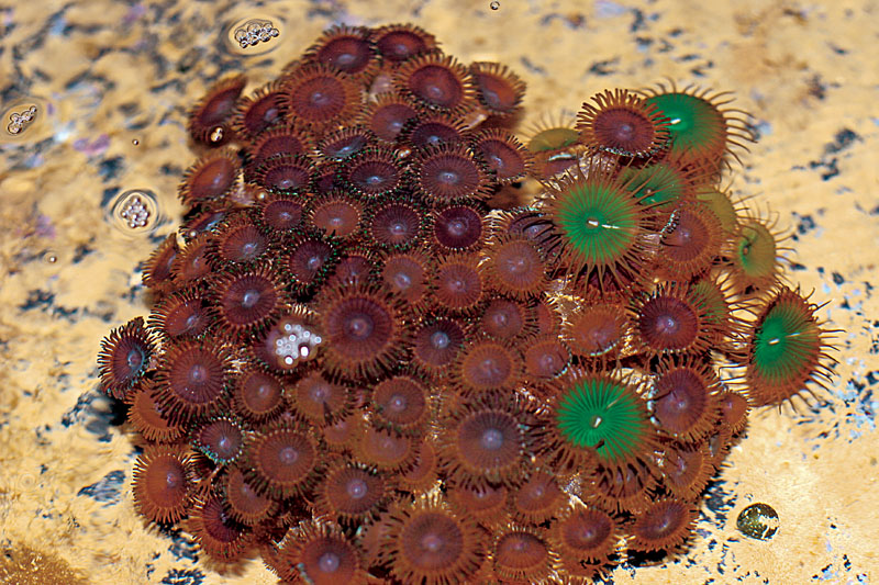 Fungia scutaria