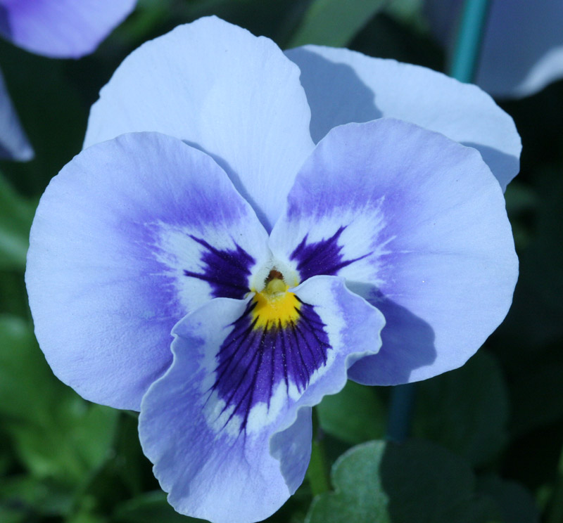 Pansy blowing