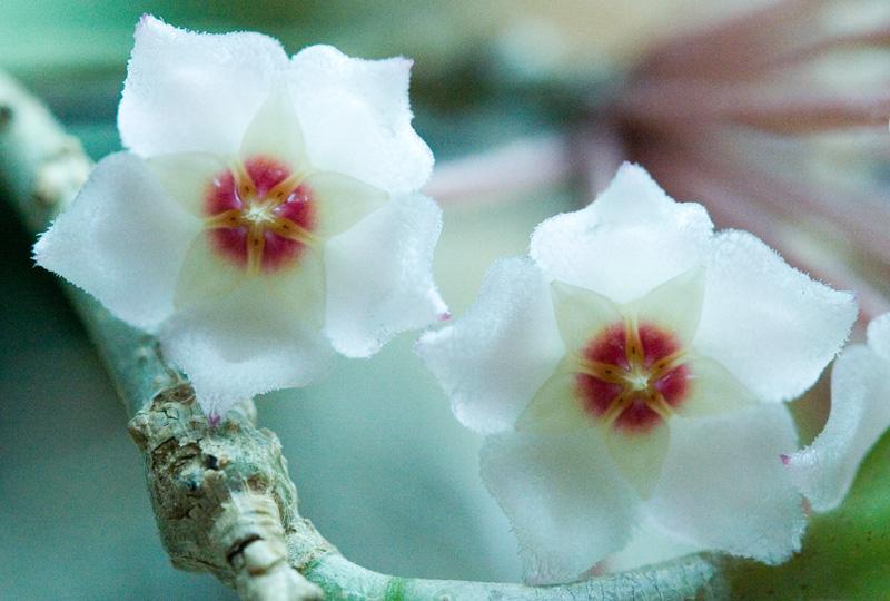 Hoya flowers opening!