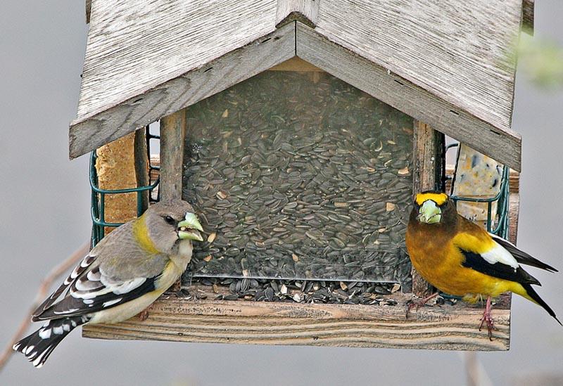 Grosbeaks chomping down sunflower seeds