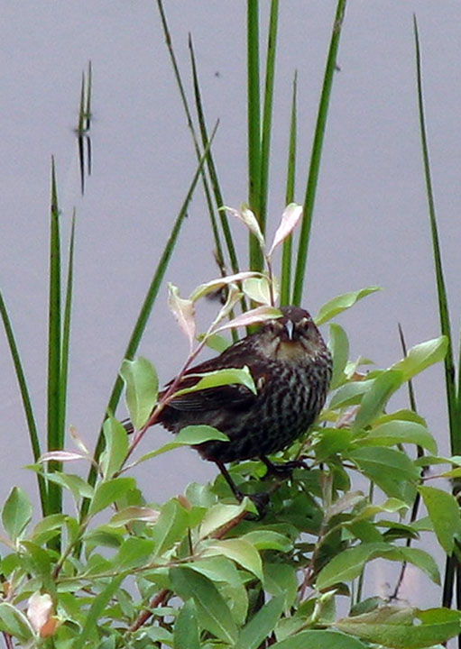 Red Winged Blackbird female