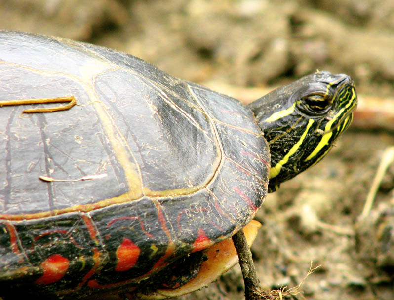 Painted Turtle shell and head