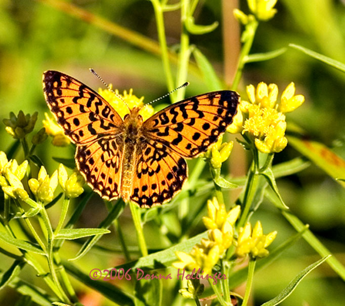 Fritillary on Goldenrod