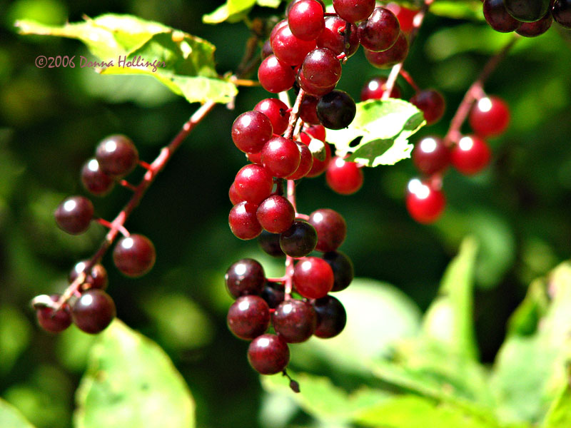 Red cherries in the sun