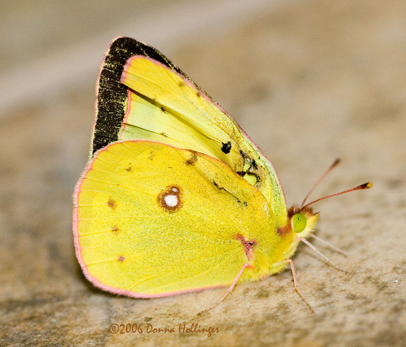 Orange Sulfur Butterfly