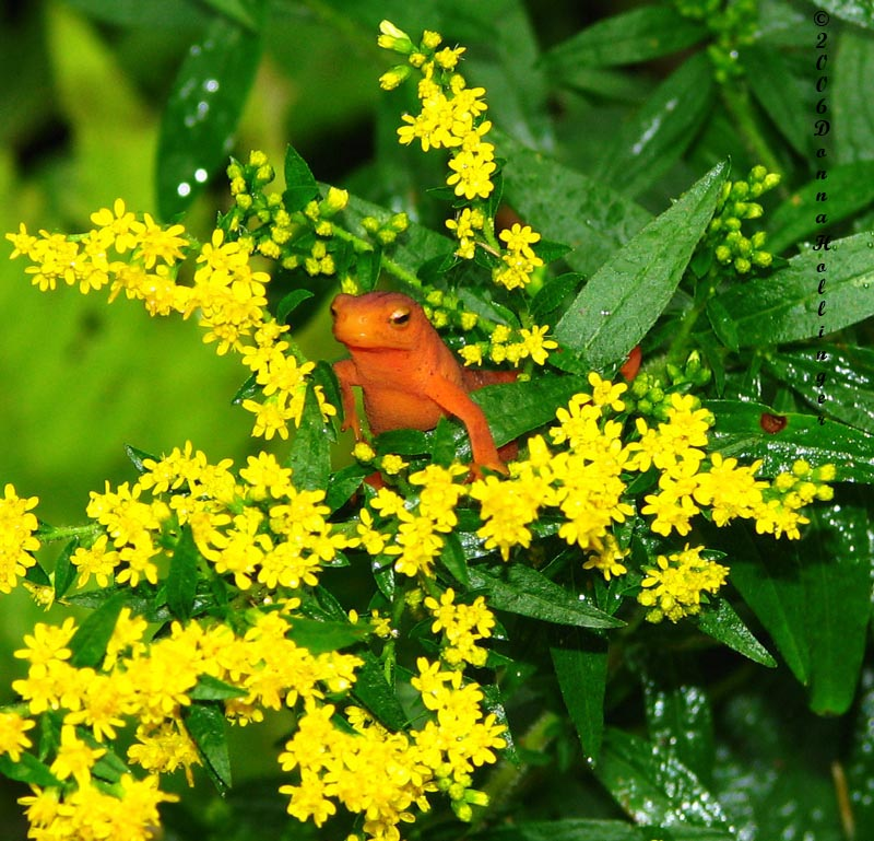 Red Eft on Golden Rod