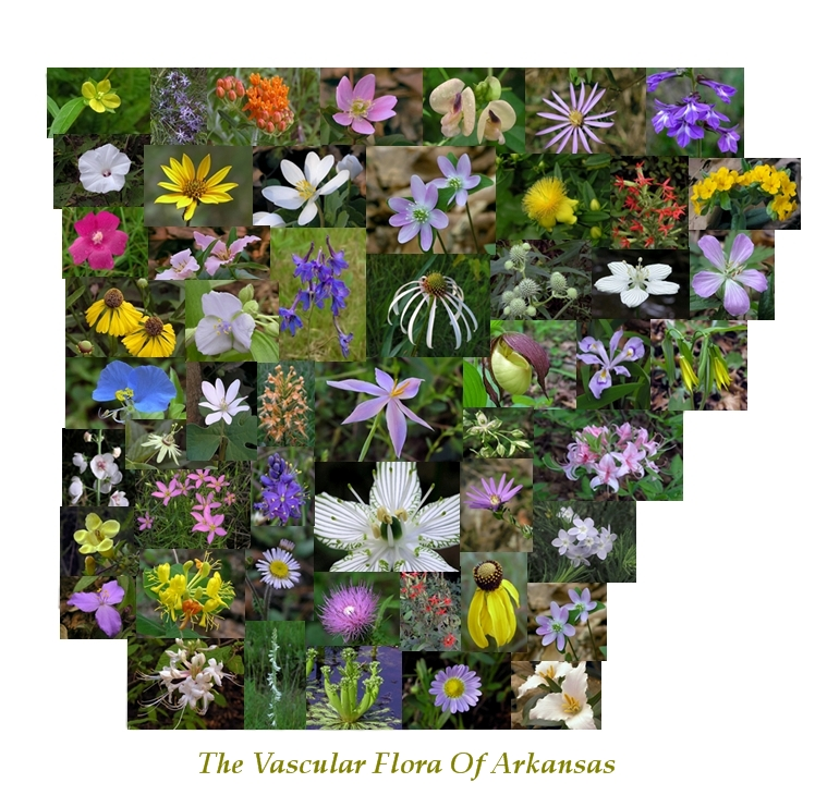 Arkansas Native Wildflowers