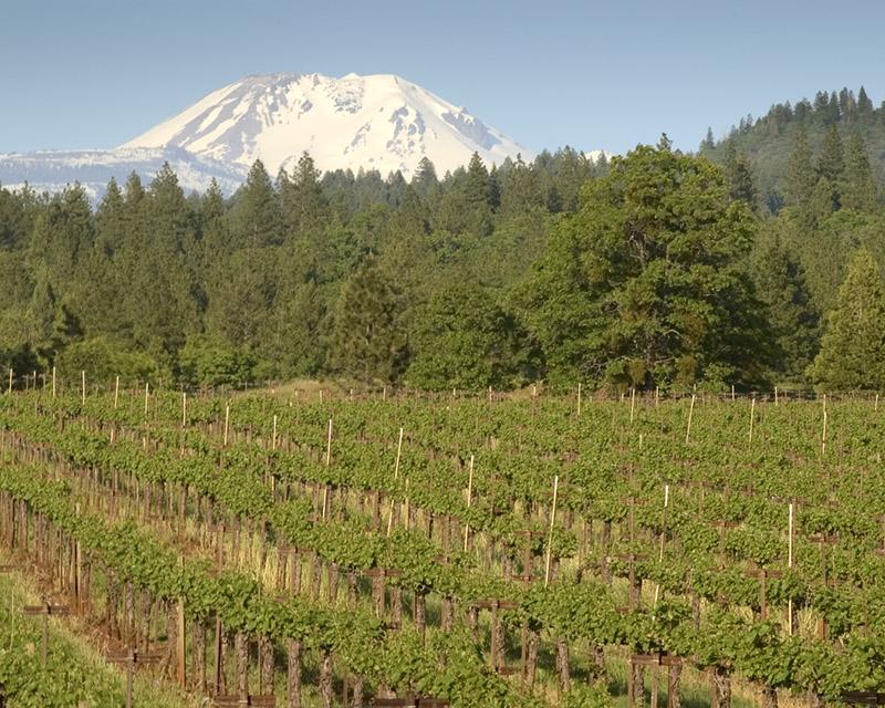 Vineyard in Spring