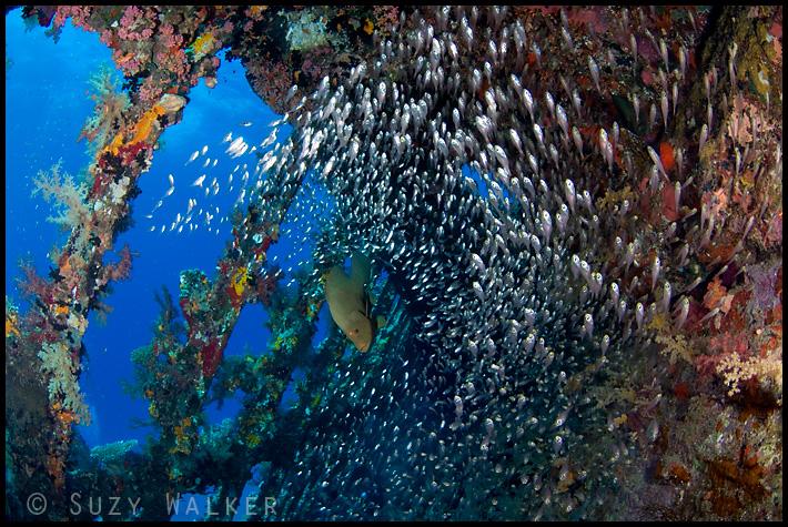 Glassfish inside the Carnatic