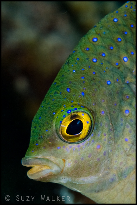 Profile of fish with blue spots
