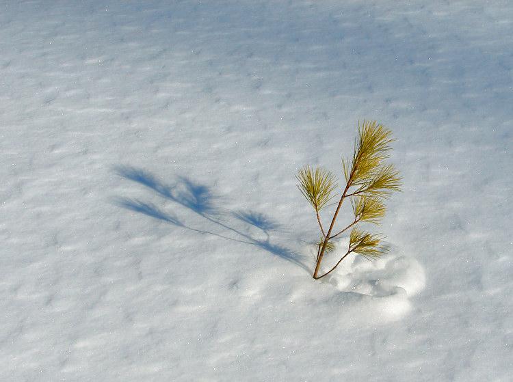 little_pine1-750_DSC03925.jpg