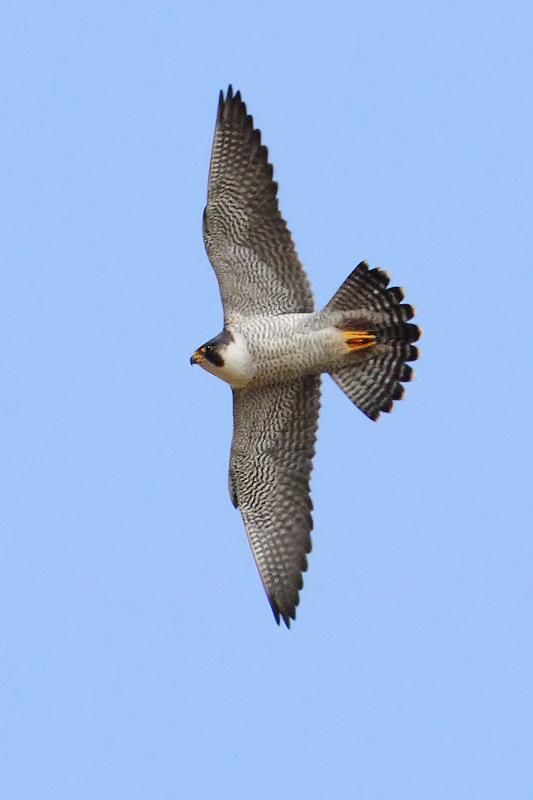 Peregrine falcon (falco peregrinus), Montricher, Switzerland, March 2010