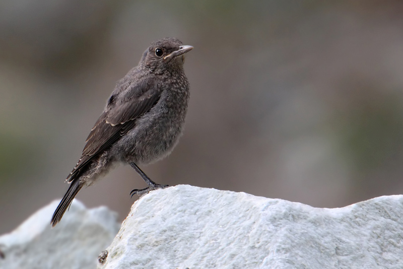 Blue rock thrush (monticola solitarius), Chamoson, Switzerland, June 2010