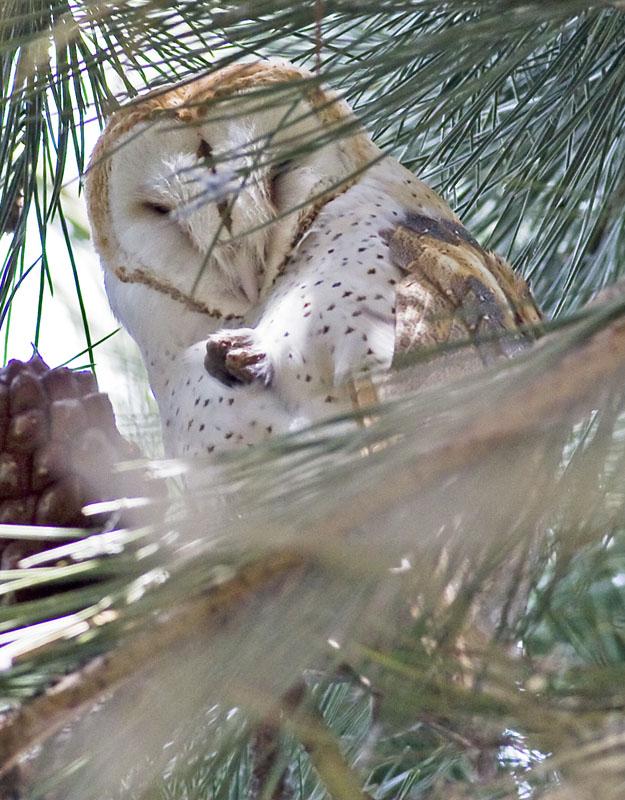 Barn Owl sleeping in conifer