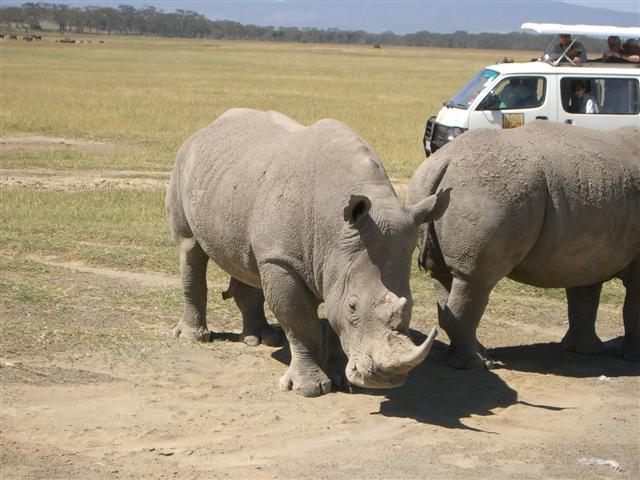Rhinos with Van