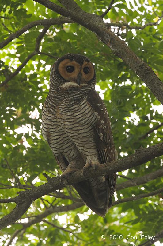 Owl. Spotted Wood (adult) @ Botanic Gardens