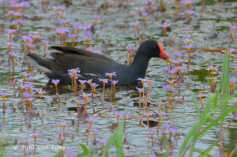 Moorhen, Common @ Batu Gajah
