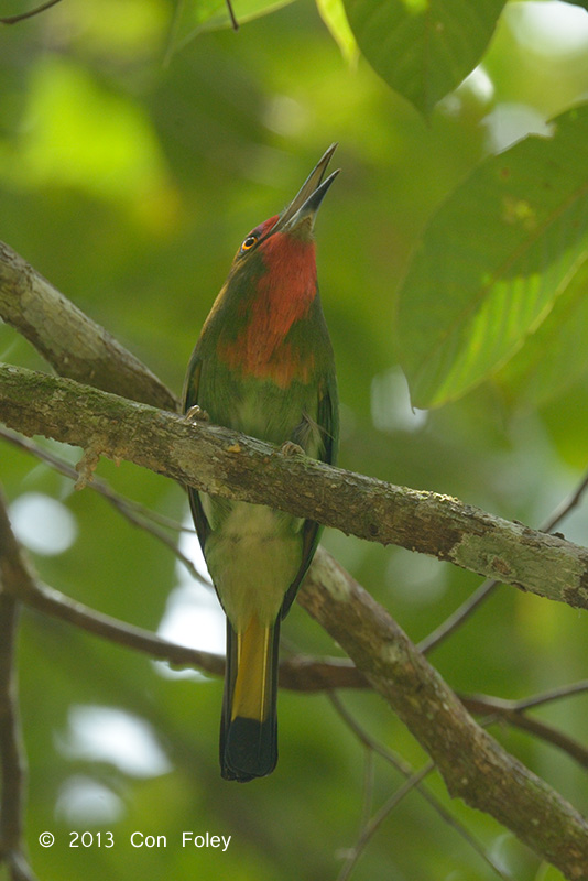 Bee-eater, Red-bearded (female sub adult)