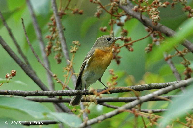 Flycatcher, Mugimaki (female) @ Hindhede Quarry