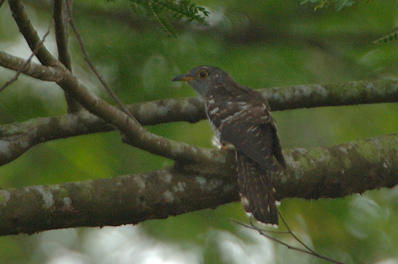 Cuckoo, Indian (juvenile) @ Jalan Kwok Min