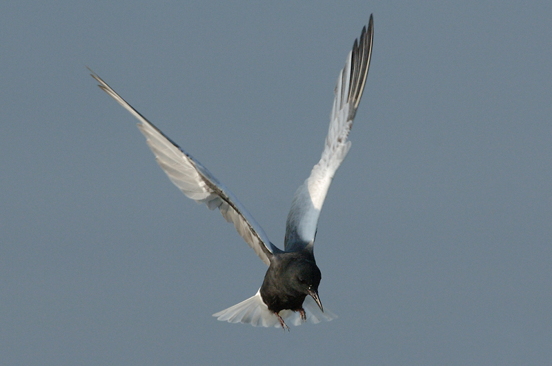 Tern, White-Winged (breeding) @ Kranji