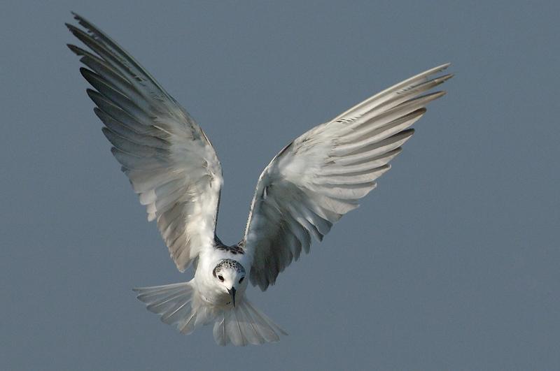 Tern, White-Winged (non-breeding) @ Kranji