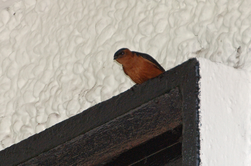 Swallow, Red-rumped @ The Gap