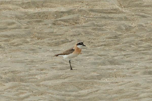Plover, Lesser Sand (male, breeding) @ Changi