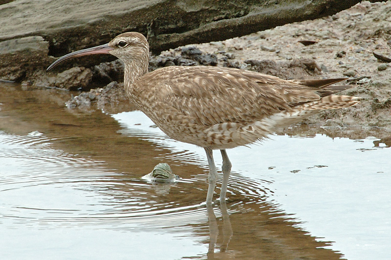 Whimbrel @ Sungei Buloh